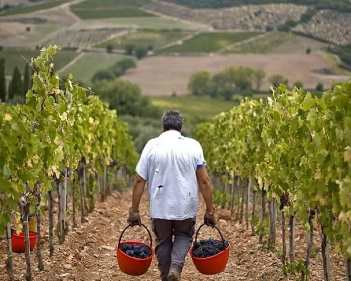 Harvest in the vineyards
