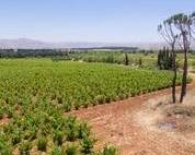 Chateau Musar Vineyards - Bekaa Valley