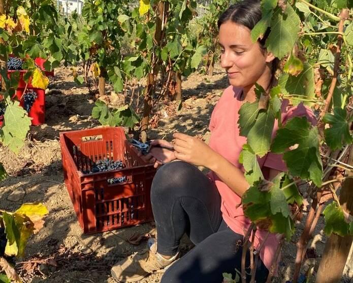 Harvesting at Domaine Aleofane