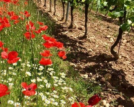 Wildflowers growing around the vineyards at Aleofane