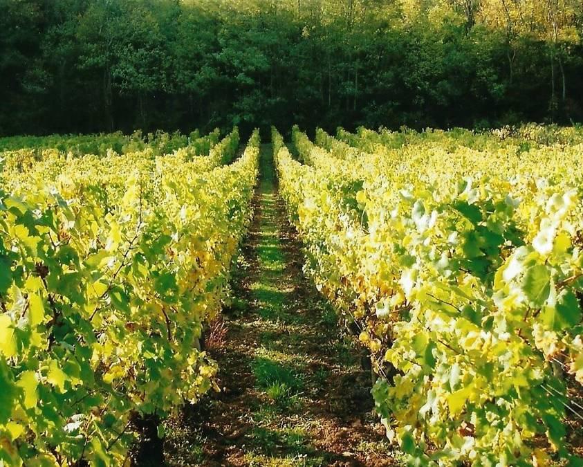 Vineyards at Domaine de la Verpaille