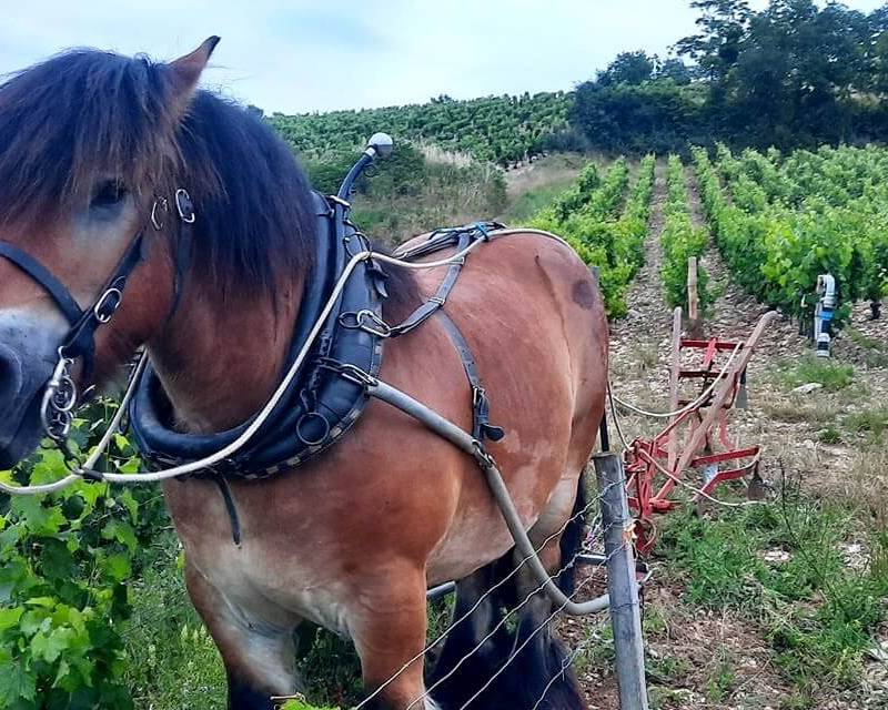 Working Horse in the Vineyards