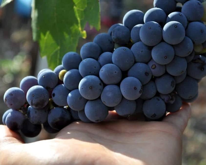 Aglianico grapes at La Guardiense