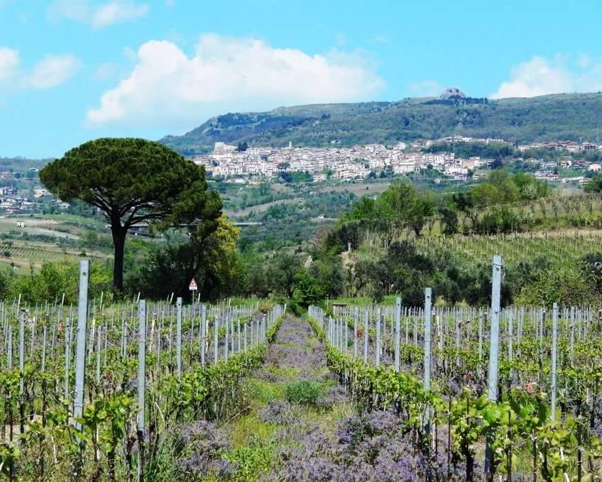 Vineyards at La Guardiense