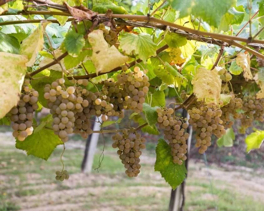 Albarino grapes on the vines
